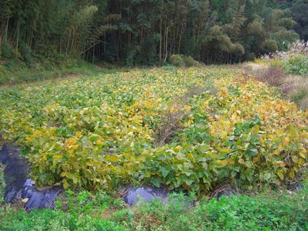 上音羽の大豆畑